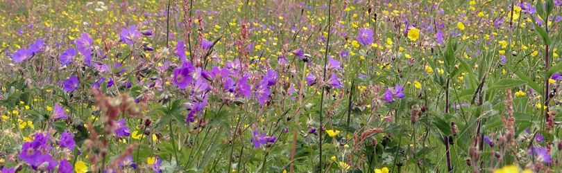 Harzer Wiese im Blütenpracht