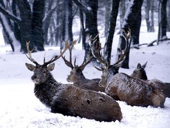 Rothirsche im Winter, Armin Maywald Nationalpark Harz