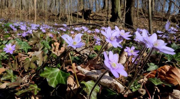 Leberblümchen (Hepatica nobilis), Foto: Wilfried Störmer
