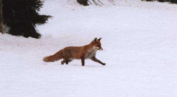Rotfuchs im Winter, Foto: Wilfried Störmer