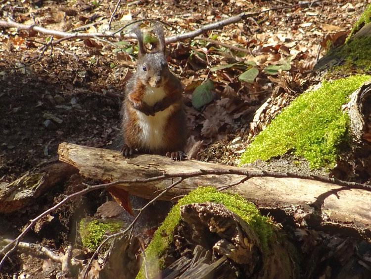 Eichhörnchen. Bauling