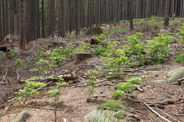 Grünende Pflanzung am Beerenstieg im Nationalpark Harz. Aufnahme: Nationalpark Harz