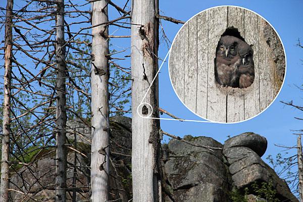jungen Raufußkäuzen im Totholz (Foto Caren Pertl)